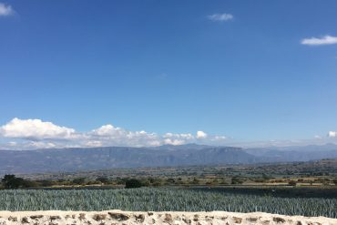 Blue Agave Plant and Tequila Production