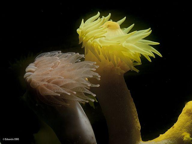 Izquierda: Desmophyllum dianthus. Derecha: Dendrophyllia cornigera. Foto: Eduardo Obis