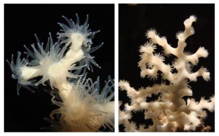 Izquierda: Lophelia pertusa; derecha: Madrepora oculata. Foto: Andrea Gori
