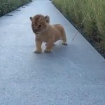 OMG, Check out this cute lion cub trying to roar