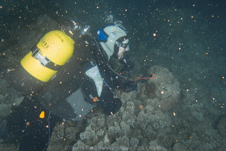 Plongeuse au milieu de la ponte