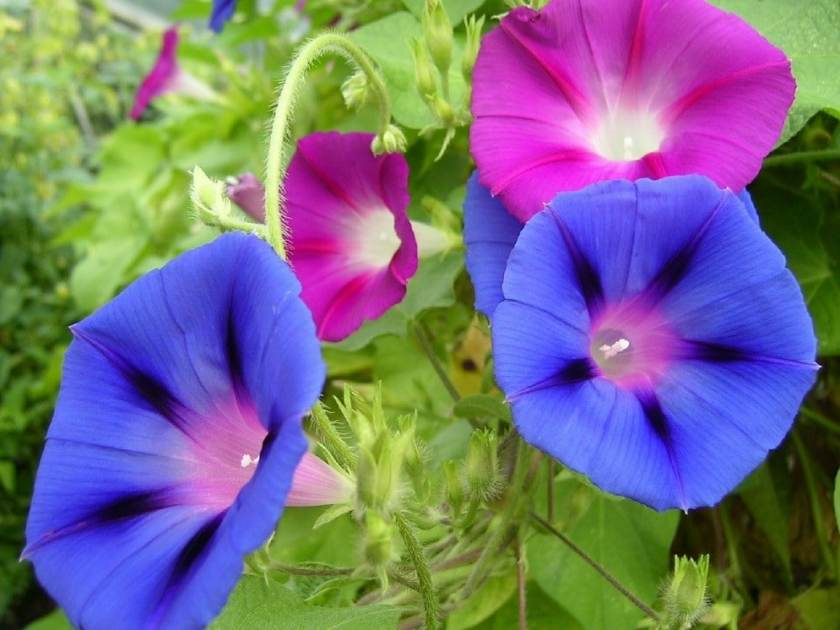Morning glory babyproof flowers