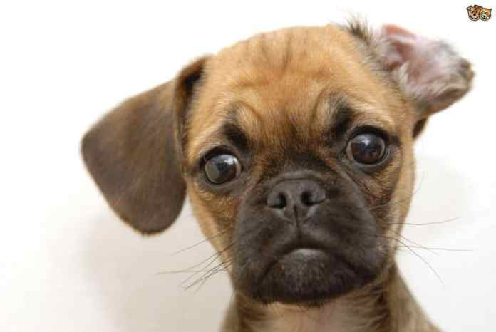 10 razze di cani per bambini piccoli e neonati - incrocio