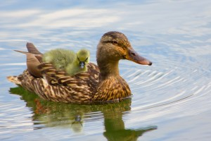 mother duck with baby duck on her back--baby essentials