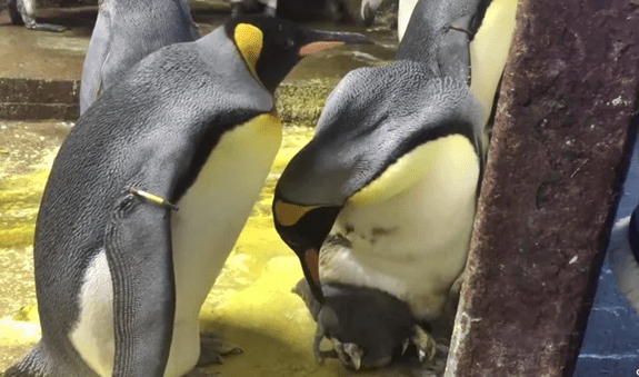 Gay Penguin Couple 'Kidnaps' Chick from Its Neglectful Straight Parents