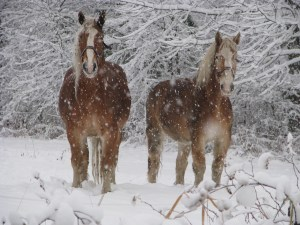 Two draft horses standing in the snow
