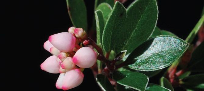 Guatemala bearberry