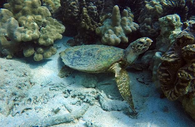 Une tortue à Koh Adang