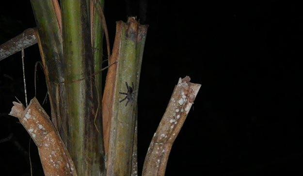 Explorer la jungle de nuit et voir des mygales