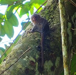 Ouistiti Pigmées en Amazonie