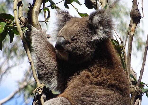 Un koala dans le Victoria