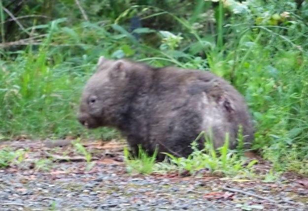 Un wombat sur le bord de la route