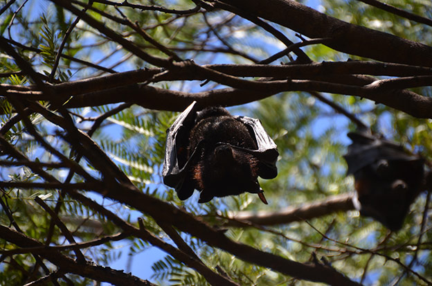 Les flying fox de Katherine