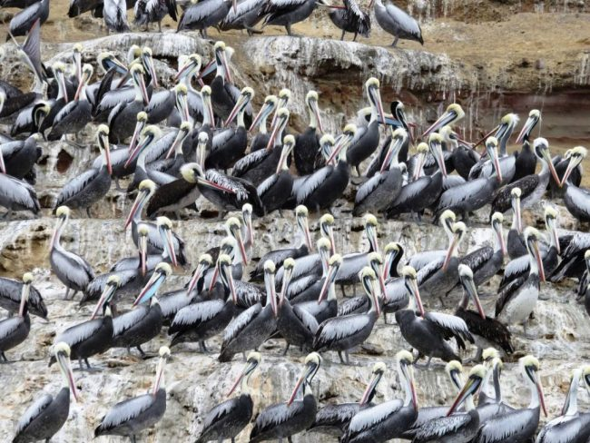 hundreds of Pelicans at Islas Ballestas in Ica Peru