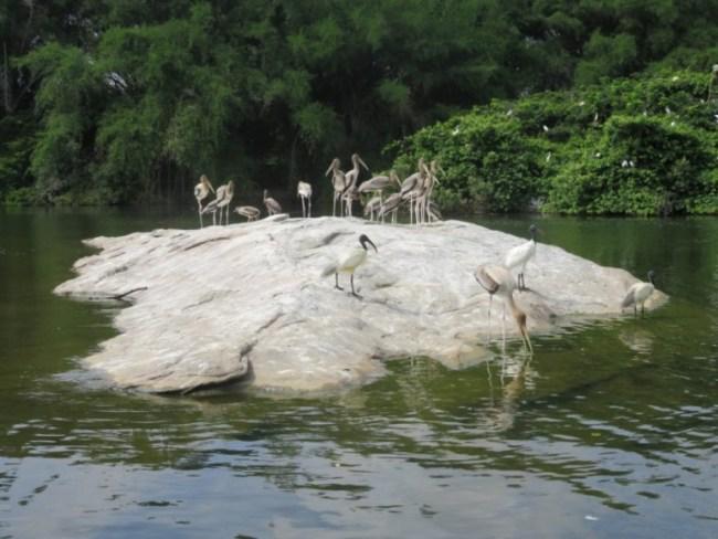 things to do in mysore: storks at ranganathittu bird sanctuary