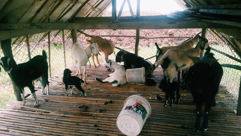 goats phnom penh