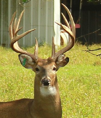White-tail deer buck