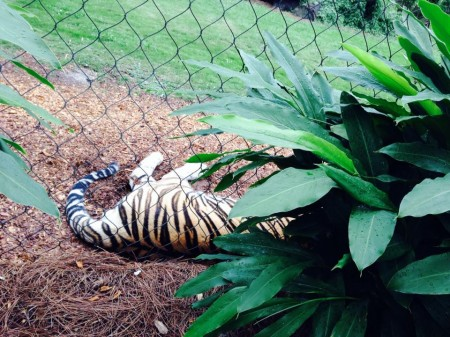 Mike the Tiger in Baton Rouge