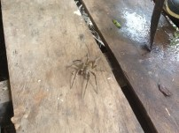 Poisonous spider in Amazon