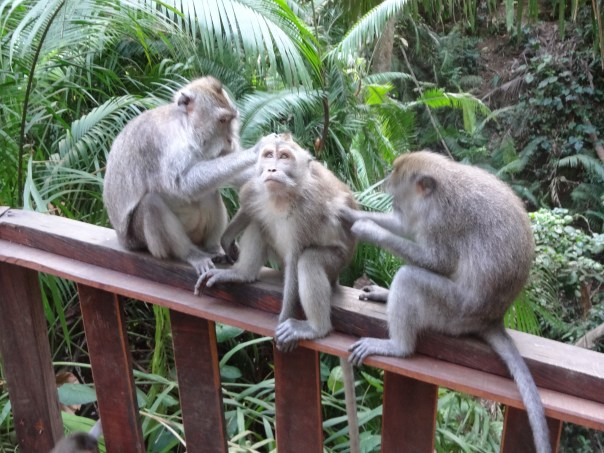 Monkeys being friendly helping clean each other (Ubud, Indonesia, 2016).