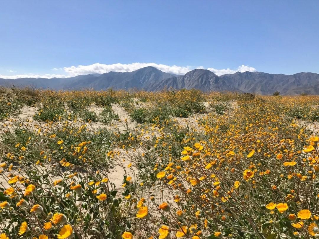 IMG 2275 - Wildflower Chasing at Anza-Borrego Desert State Park California