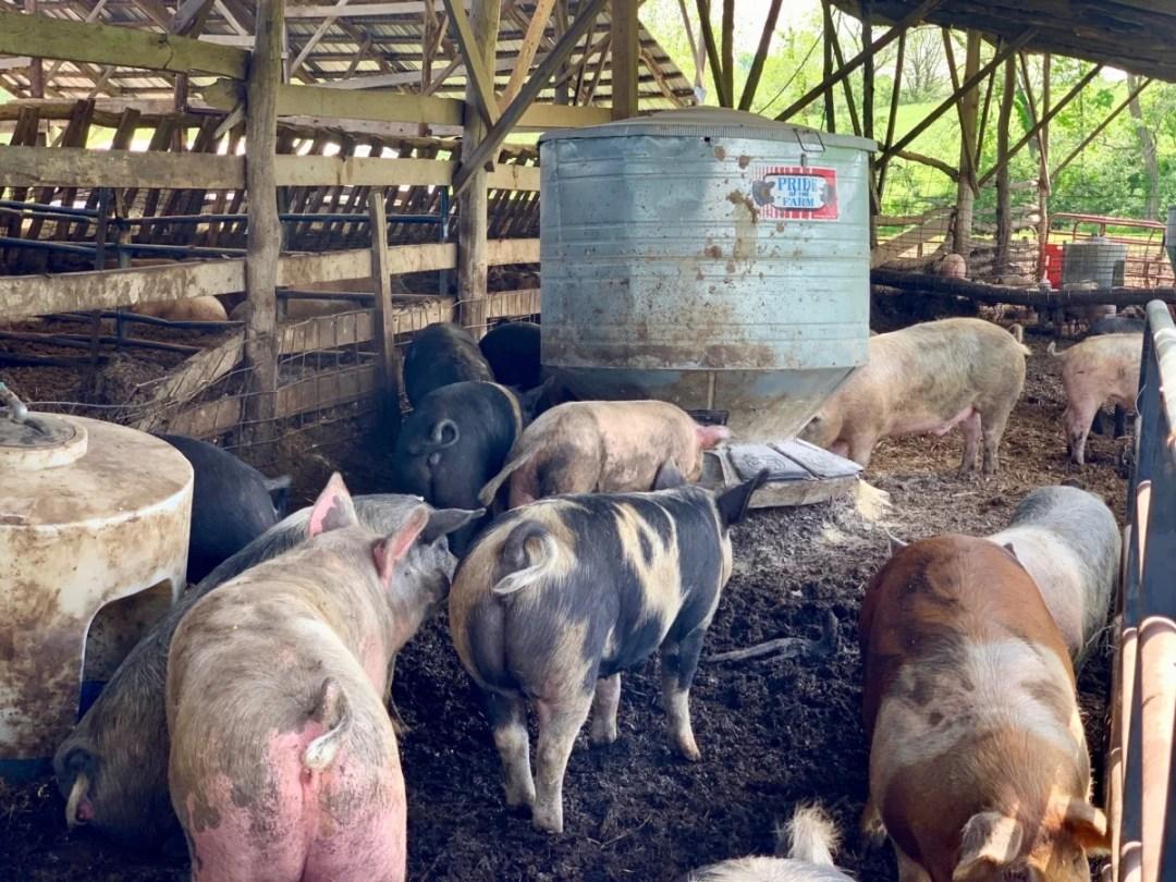 Polyface Farm Pigs - Fun Things to Do in Staunton Virginia