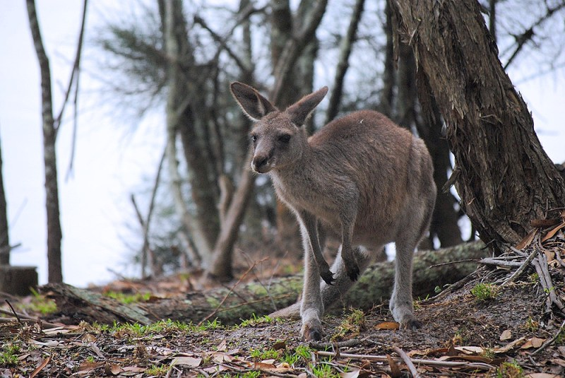 Kangaroo at Green Patch Camp ground Jervis bay