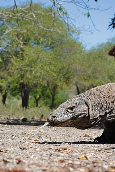 Komodo dragon in Komodo National Park