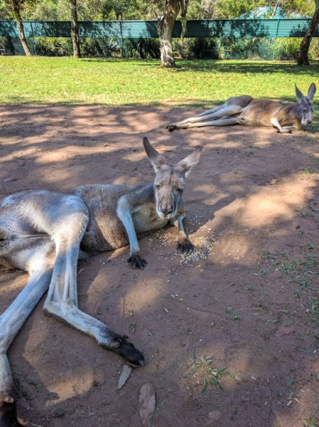 Kangaroos Lazing around at Australia Zoo, Qld