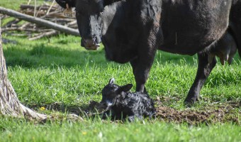 Calving Systems: How We Manage Calving Season