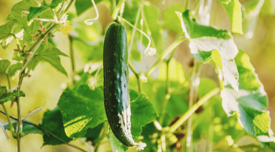 How To Grow Cucumbers A Complete Guide To Growing Cucumbers