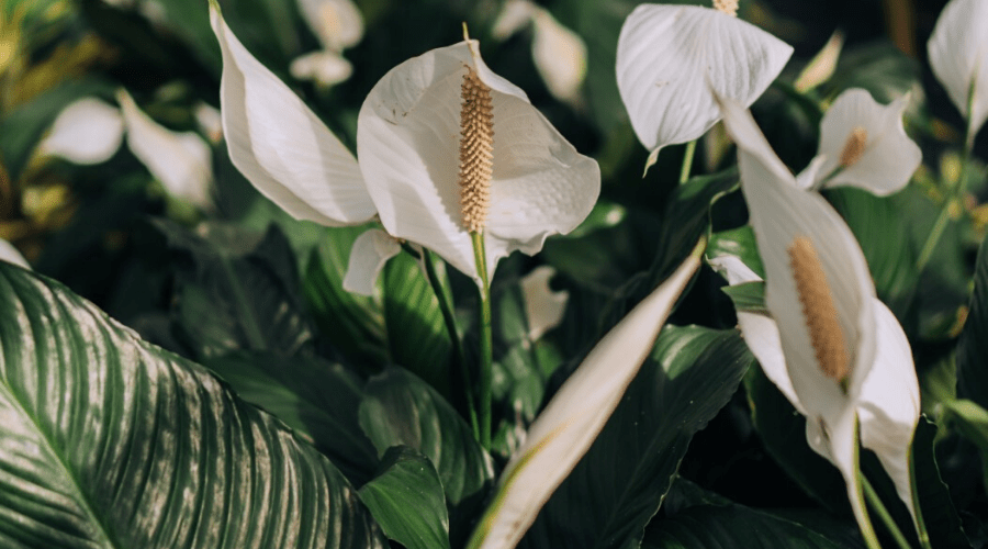 Peace Lily Guide How To Take Care Of A Peace Lily Plant