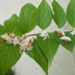 Indian Night Jasmine Nycanthes Arbor Trystis It Blooms At Night And Drops Its Flowers In The Morning When The Sun Hits Them There Is An Awesome Legend About This Tree Backyard