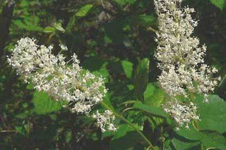 Beautiful flowers 2018 large bush with small white flowers large bush with small white flowers the flowers are very beautiful here we provide a collections of various pictures of beautiful flowers charming mightylinksfo