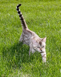 Bengal kitten image similar to one sold via Dreamstime