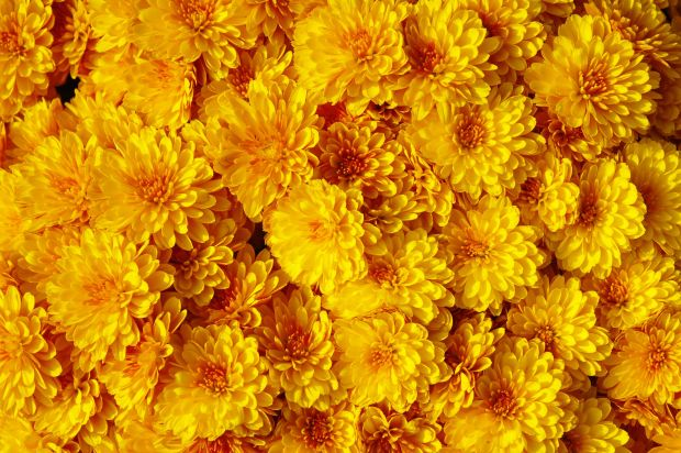 33444215 - autum mums, chrysanthemums closeup in sunny day