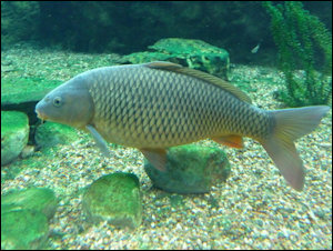 James River carp do just fine in water that don't meet drinking water standards.