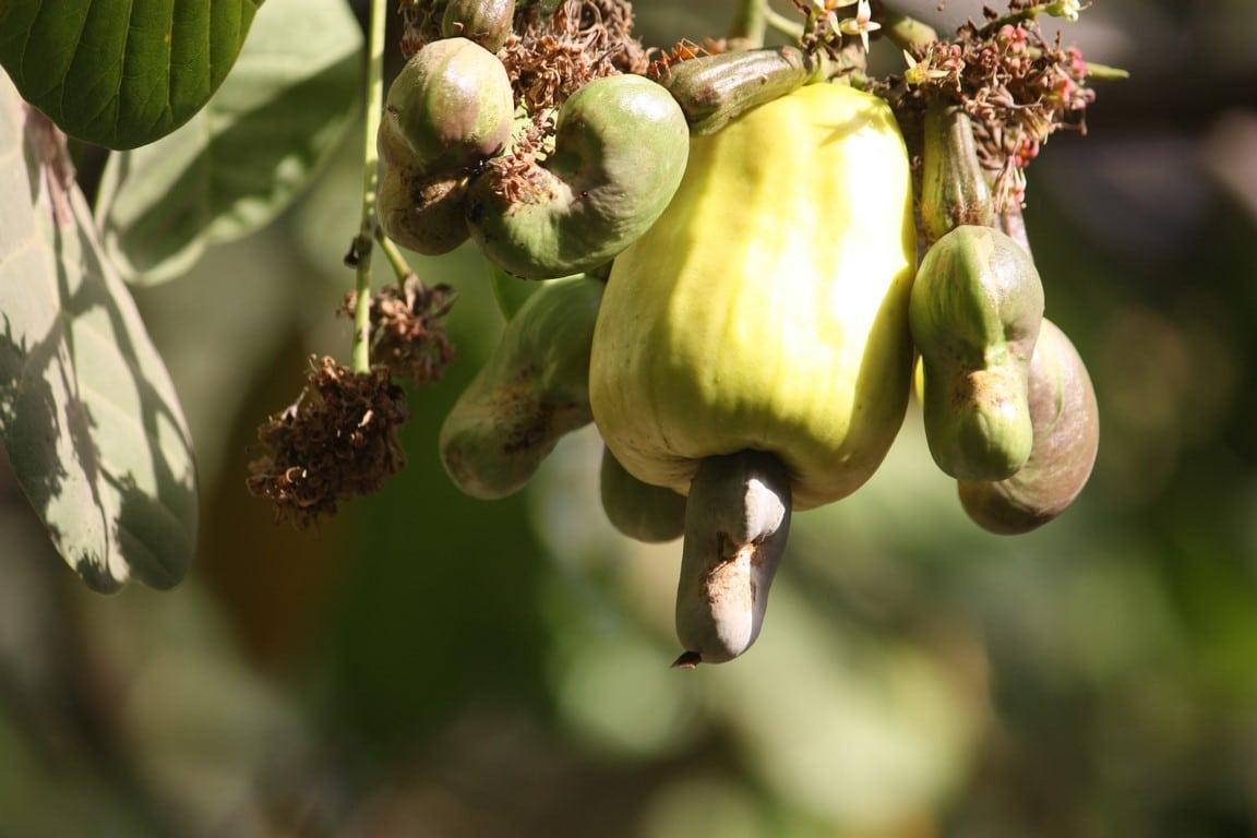 pomme et noix de cajou en fleur