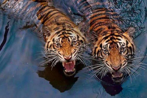 tigers swim