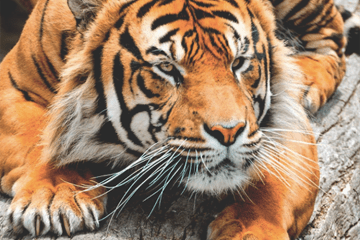 Tiger Daily Fresh Baked Randomness (45 Photos)