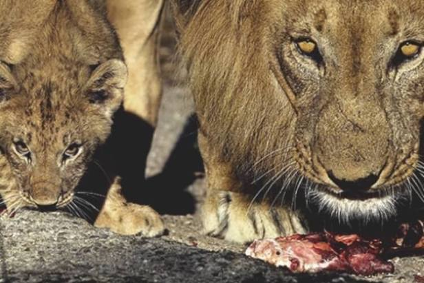 lions and cup eating