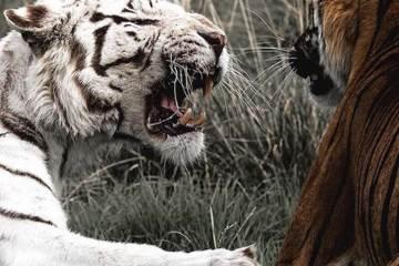 Daily Fresh Baked Randomness (36 Photos) White tiger
