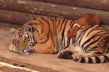 tiger and dog sleep together