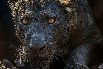 black panther with mud