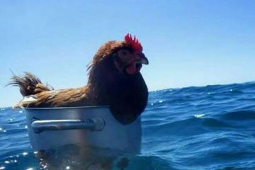 daily randomness chicken at sea