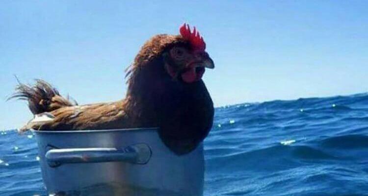 daily randomness chicken at sea