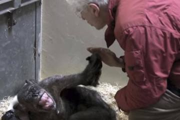 59-YEAR-OLD CHIMPANZEE REACTS TO THE MAN WHO CARED FOR HER YEARS BEFORE