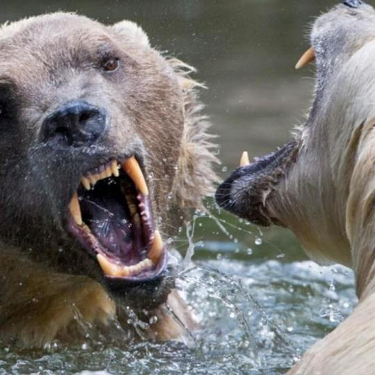 Two Bears Fighting Over A Carcass Is Intense As Hell 1