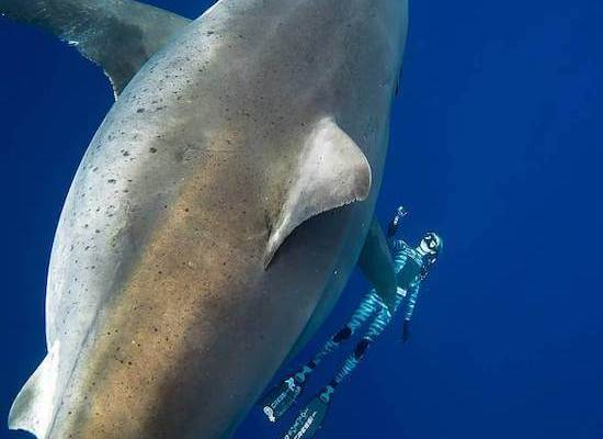 Biggest Great White Shark on Record In Hawaii 1