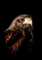Willow (Harris Hawk)